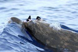 Beaked whale. Photo