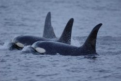 A flotilla of killer whales or Orca on review. Photo