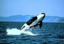 Killer whale breaching Photo