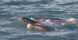 A pod of narwhals Image