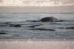 Narwhals in the pack ice Photo