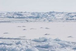 'Hummocks' in the ice where narwhals surfaced in thin ice to breathe and left an imprint. Photo