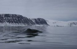 Bowhead whale on the coast of Greenland Photo