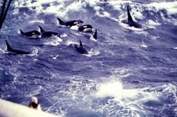 A pod of killer whales (Orcinus orca) in the North Pacific Photo