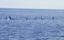 A pod of killer whales (Orcinus orca) in the North Pacific Image
