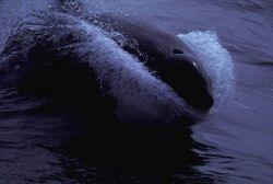 Almost a head-on view of a killer whale (Orcinus orca) sprinting. Photo