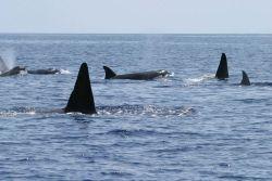 Killer whales Photo