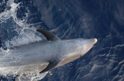 Bottlenose dolphin Photo