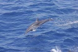 Clymene dolphin Photo