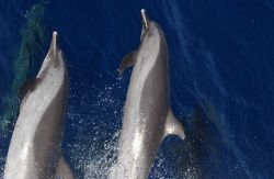 Pantropical spotted dolphin Photo
