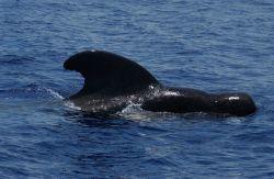 Pilot whale Photo
