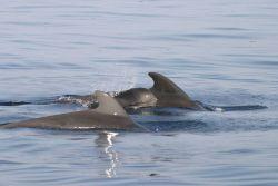Pilot whales Photo