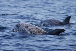 Risso's dolphin Photo