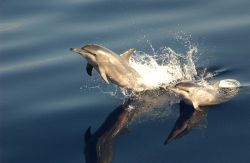 Spinner dolphin Photo