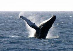 Humpback whale breaching Photo