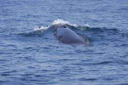 Minke whale Photo
