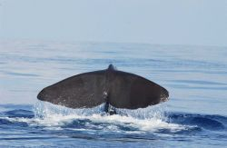 Sperm whale Photo