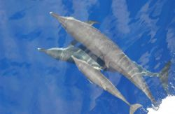 Pantropical spotted dolphin and calf Photo