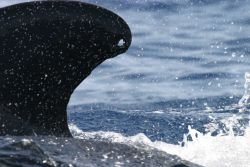 Hole in dorsal fin of pilot whale Photo
