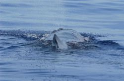The squat dorsal fin of the sperm whale pushed to one side by injury. Photo