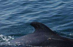 Rake marks and what appears to be an embedded hook in a pilot whale Photo