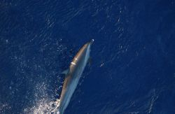 Scar in dorsal fin area of dolphin Photo
