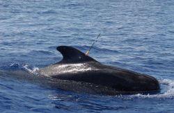 Biopsy tissue-sampling dart on back of pilot whale Photo
