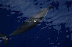 Cookie cutter shark (Isistius brasiliensis) bites Photo
