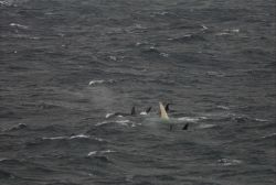 A white killer whale with pod off Alaska's Aleutian Islands. Photo