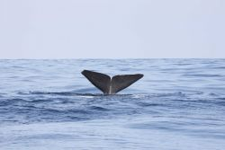 Sperm whale flukes Photo