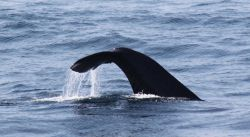 Sperm whale tale Photo