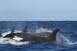 Pod of killer whales Photo