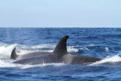 Pod of killer whales Photo