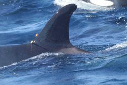 Killer whale dorsal fin Photo