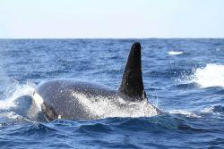 Killer whale Photo