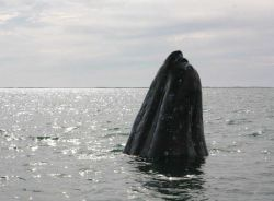 A gray whale sticking its head out of the water to look around, a behavior known as