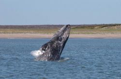A young western Pacific gray whale breaching off the coast of Sakhalin Island Image
