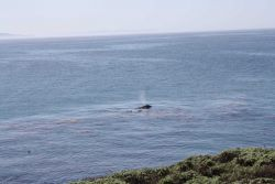 A gray whale cow and calf surfacing in a kelp paddy, next to two sea otters Image