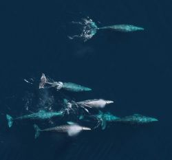 An aerial view of a pod of gray whales Image