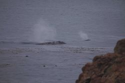 A cow calf pair swimming near shore at Point Piedras Blancas. Image
