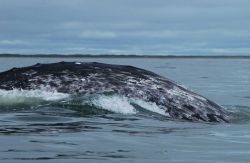 An example of the mottled coloration pattern of a western gray whale that is useful for photo-identifying individuals. Image