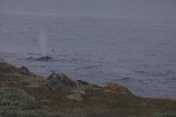 A gray whale cow calf pair moving northward along the coast off Point Piedras Blancas. Image