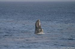 A breaching gray whale off Point Piedras Blancas. Image