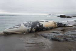 A dead stranded whale at Point Piedras Blancas Image