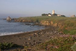 A view of a small elephant seal rookery with the Piedras Blancas lighthouse visible in the background. Image