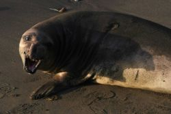 An elephant seal cow baring its teeth. Image