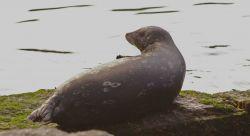Harbor seal portrait at Granite Canyon Photo