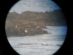 Harbor seals lounging along the shore at Point Piedras Blancas as seen through big-eye lens. Photo