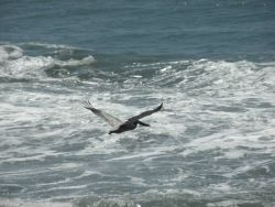 A brown pelican flying over the Central California coast Photo