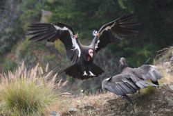 Two California condors Photo